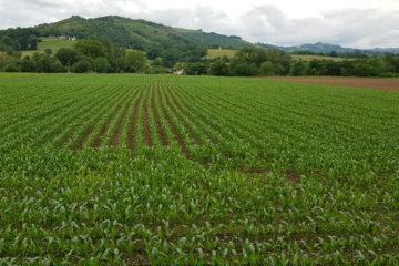 Maïs agriculture SCEA